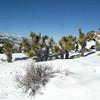 joshua trees in the snow