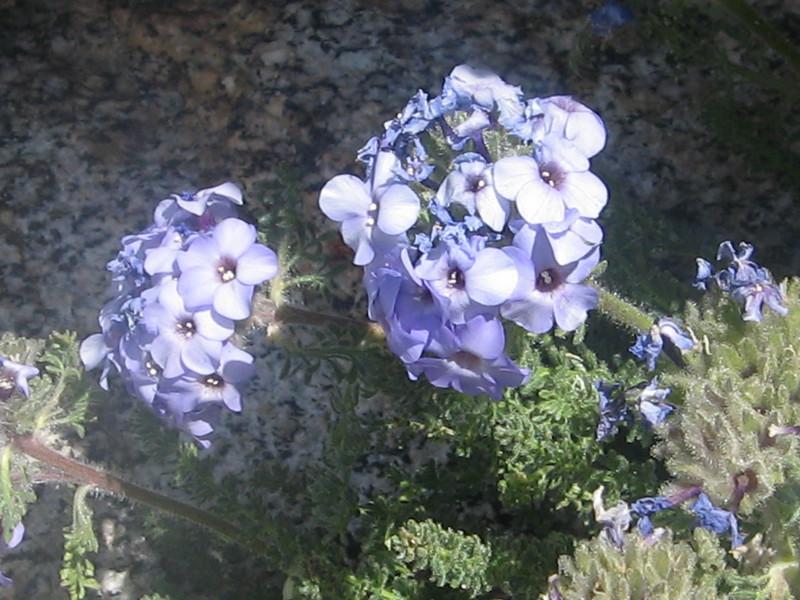 still some Polemonium blooming