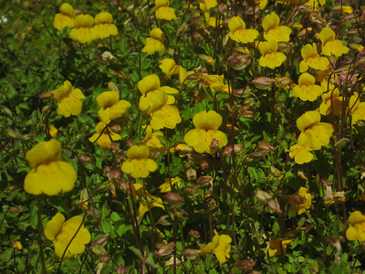 field of Monkeyflower