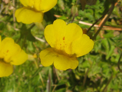 Primrose Monkeyflower up close