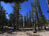 on the trail - pine trees and granite