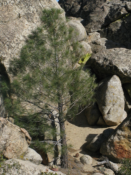 small pine tree near the top