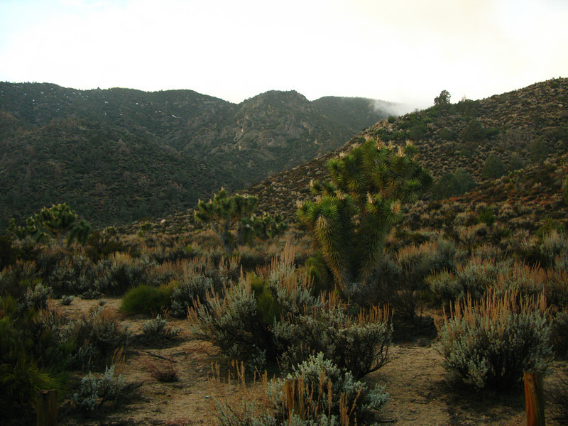 Joshua trees and low clouds