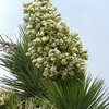 joshua blooms