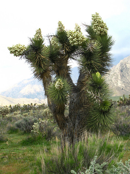 blooms on the joshua trees