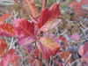 poison oak looks nice in the fall