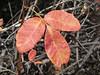 poison oak?