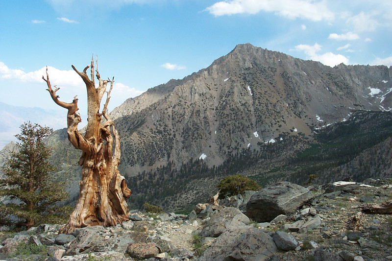 Nice looking dead tree along the trail with Independence Peak in the background.