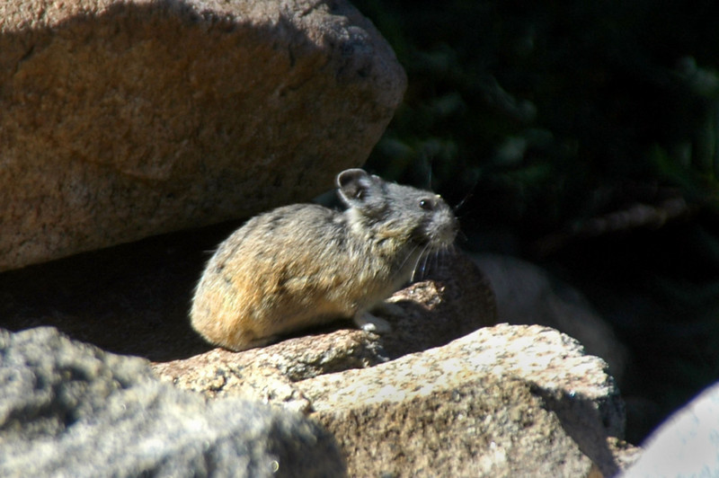 This little pika was on the rocks by the trail.