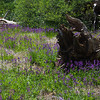Lupine and Log
