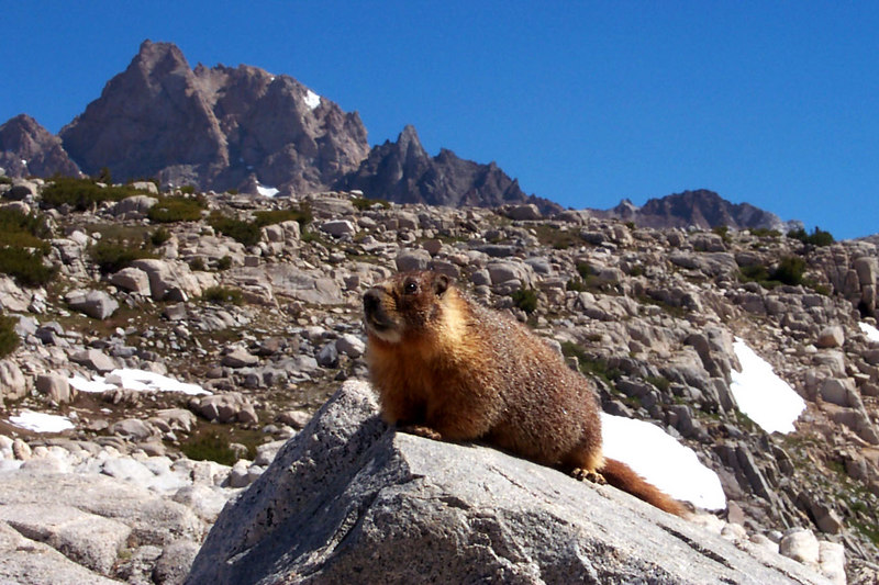 This junior marmot was hanging out at the pass, it's the smallest one I ever seen. That's the top of Mount Humphreys in back.