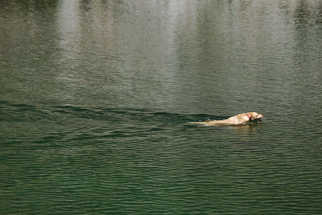 Bo leaving a wake in Long Lake as she swims after a thrown stick.