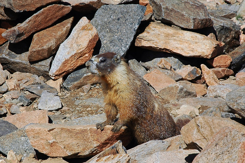 Came across this marmot at about 11,700'. He was hanging out in a ring of rocks.
