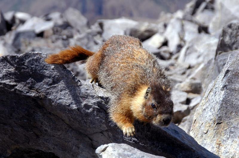 It's a marmot.