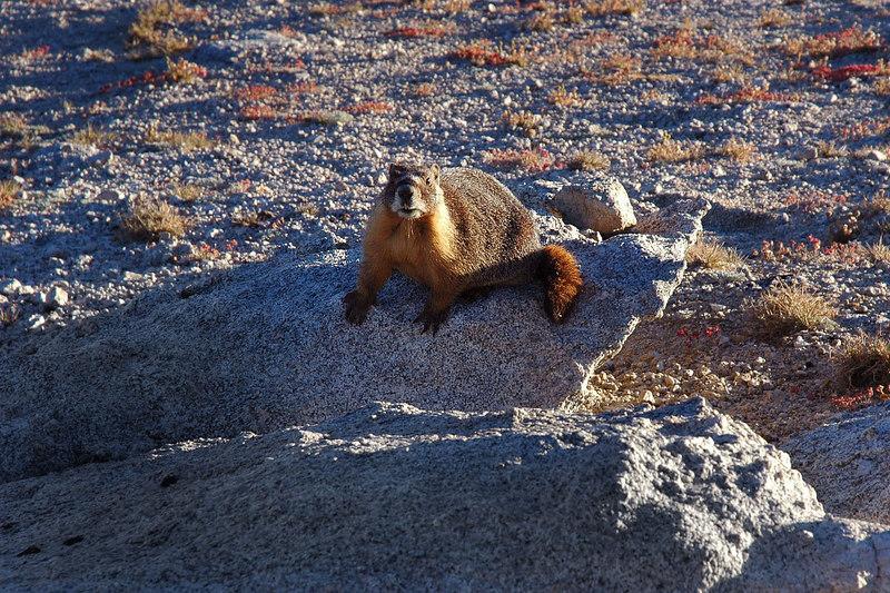 Marmot on the pass.