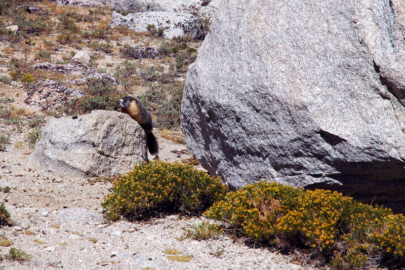 A marmot in the lakes area.