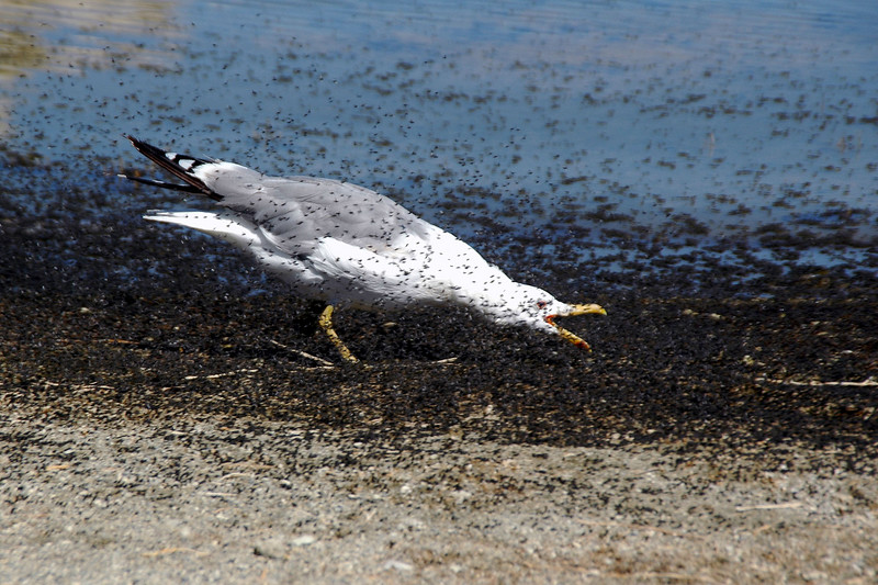 This one was busy eating the black alkali flies that carpet the shoreline. It was entertaining watching it run back and forth, head down, jaws munching.