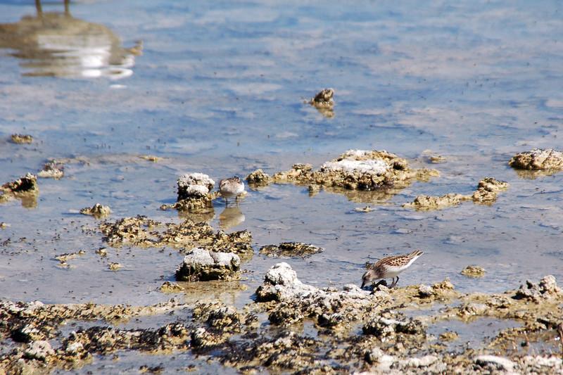 "These little shore birds feeding on brine shrimp (aka ""Sea Monkeys"")."