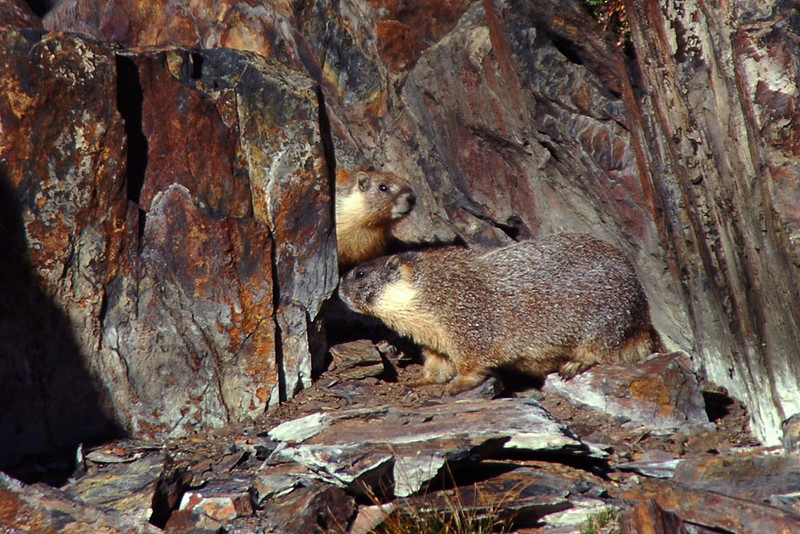 Two junior marmots, their mother was close by. They had a hole in the rocks by our camp.