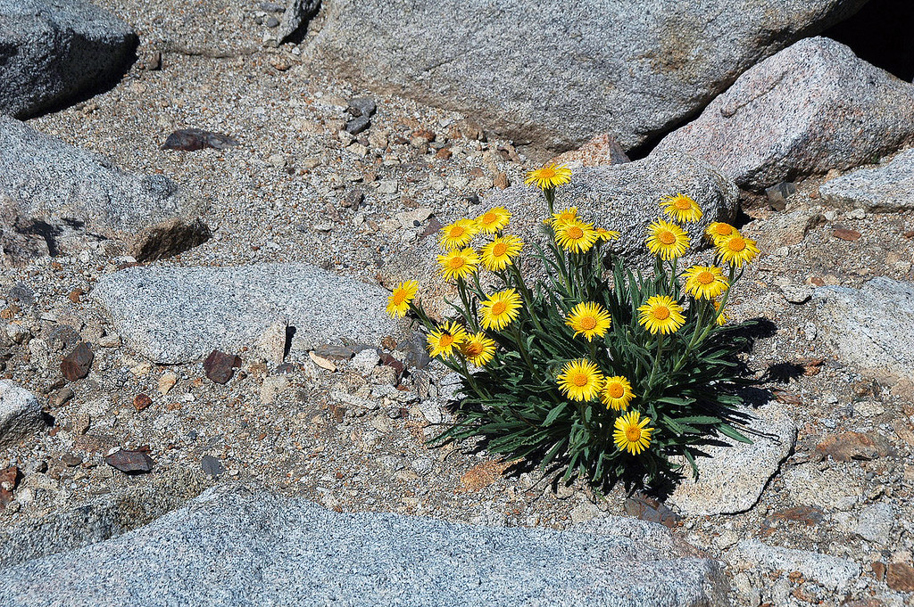 There were a lot of these flowers above 12,000'.