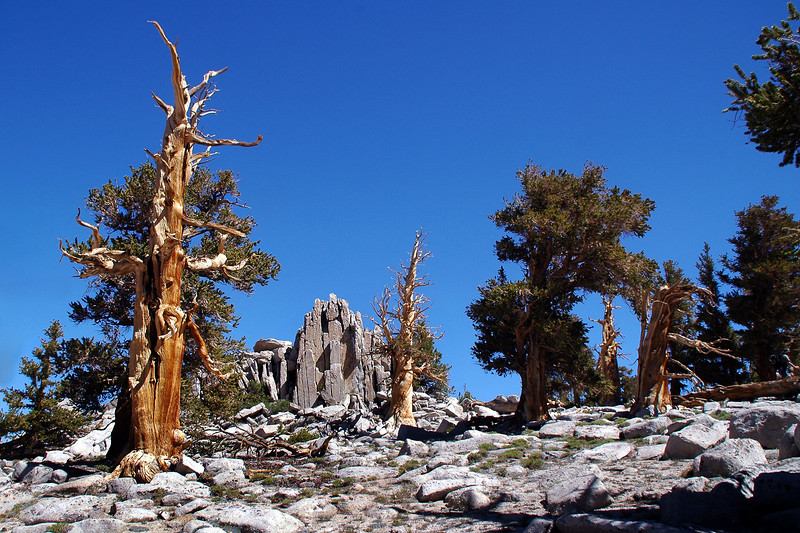 There was a lot of nice looking trees in the area. I think they are Bristlecones.