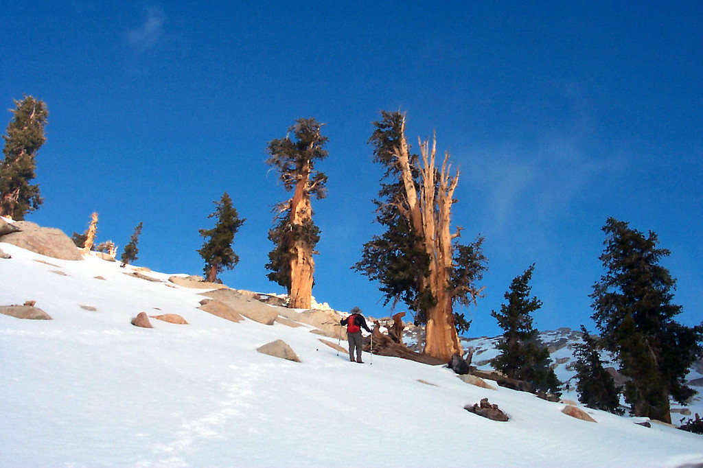 There were some limber pines near the summit.