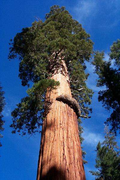 The McKinley Tree.