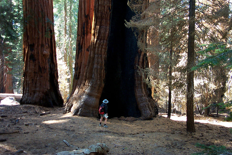 Kathy checking out another burned out sequoia near the end of our hike.