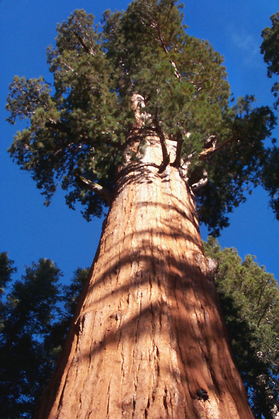 Looking up at the General Sherman Tree. The photos of the trees don't do them justice.