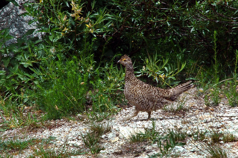 This grouse was keeping an eye on me while I was taking a break.