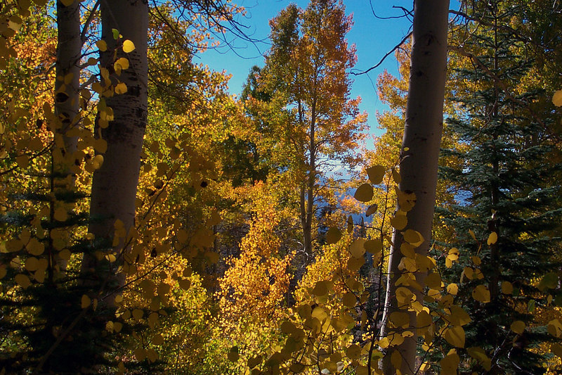 Looking through the aspens.