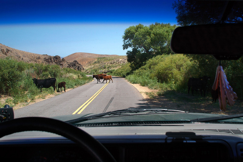 Cows on the Lubken Canyon Road.