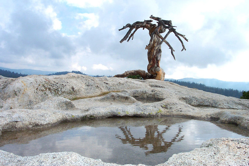 On the summit of Sentinel Dome 8,122'. This is the skeletal remains of the Jeffrey pine that Ansel Adams frequently photographed.