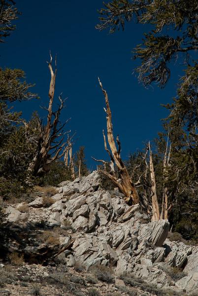 Bristlecone Pine forest