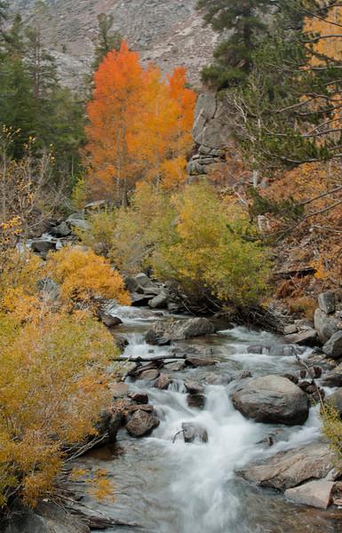 Aspen in full glory along Bishop Creek