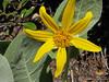 Narrowleaf Mule-ears (Wyethia angustifolia)