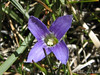 Purple Gentian