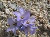 Purple sand blossom