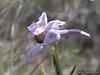 Parish Desert Larkspur (Delphinium parishii ssp. parishii)