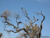A bunch of turkey vultures . . . the one on the left sat there with its wings spread