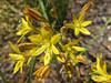 Golden Brodiaea or Pretty Face (Triteleia ixioides)