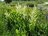 Corn Lily flower