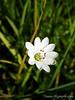 Meadow starwort<br /> Stellaria longipes ssp. longipes<br /> Caryophyllaceae
