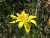 Nodding microseris<br /> Microseris nutans<br /> Asteraceae
