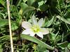 Sierra lewisia<br /> Lewisia nevadensis<br /> Montiaceae
