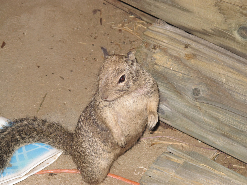 Ground squirrel in the shack by trailhead
