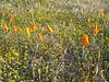 FRIDAY:  California Poppy Reserve (too early)
