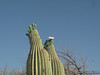 Saguaro Cactus at Panamint Springs Resort