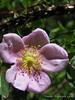 Wild Rose(G9 macro) - 04