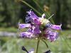 Meadow Penstemon (G9 macro)